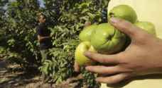 Jordanian festival celebrates guava