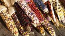 Rainbow-coloured corn a-maizes people in Turkey