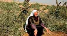 Israeli settlers set olive trees on fire