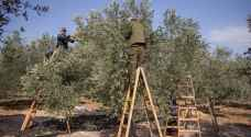 Israeli forces block Palestinians from picking olives on their land