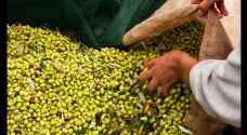 Jordanian farmers export 3,000 tons of olives to Israel