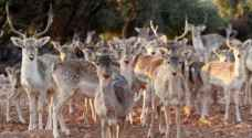 More than 100 deer go missing from Dibeen Forest Reserve