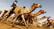 Camel owners eye $12 million prize at upcoming race