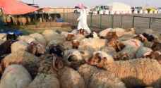 How to choose the right sheep for sacrifice this Eid Al Adha
