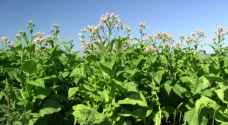 Jordanian government considers allowing tobacco cultivation