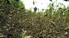 FAO warns spread of Red Sea locust swarms