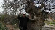 650 year old tree in Irbid to get new life