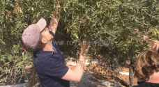 US Embassy members, Deputy Chief of Mission join Jordanian family for olive picking in Ajloun