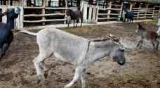 Donkeys in Jordan face extinction as donkey products grow in popularity elsewhere