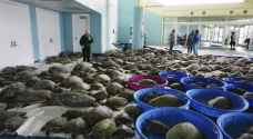 Thousands of turtles rescued in Texas polar front