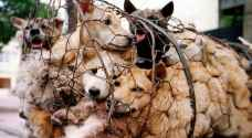 68 dogs saved from slaughter ahead of Yulin dog meat festival