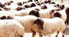 Large number of sheep killed after vehicle overturns