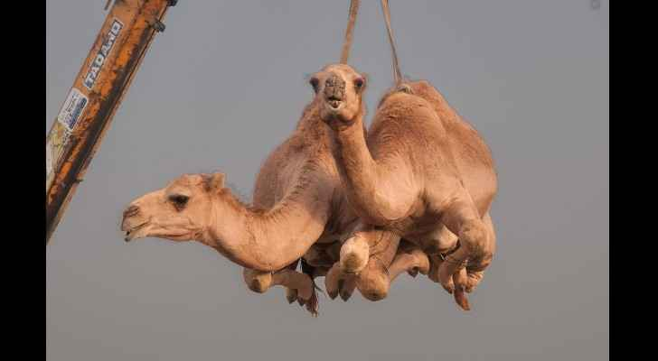Around 12,000 camels and sheep have become the latest victims of the Gulf diplomatic crisis.