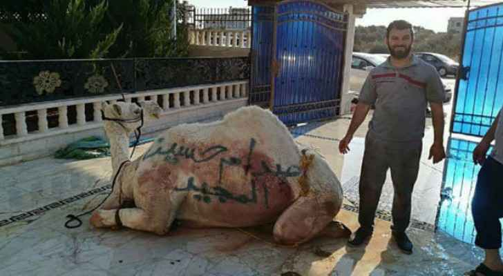 "The camel had the words ""the glorious Saddam Hussein"" written on it."