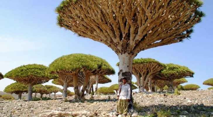 """Socotra is revered for its """"alien landscapes"""", including its famous dragon blood trees. (Photo Credit: GETTY)"""