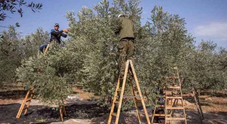 Israeli forces have been preventing Palestinian farmers from reaching their olive crops on the Israeli side of the separation barrier.