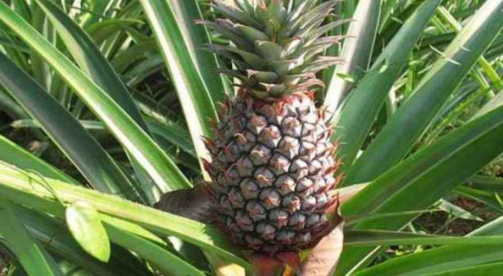 Pineapples grow up in Gaza for the first time