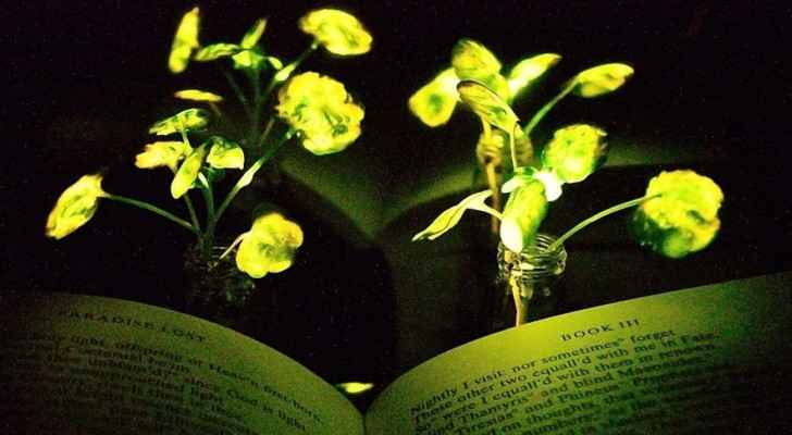 Nanobionic light-emitting watercress plants. (Photo: MIT)