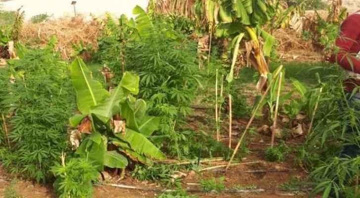 The seized marijuana
