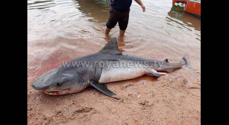 The shark was killed by the local fishermen. (Roya)