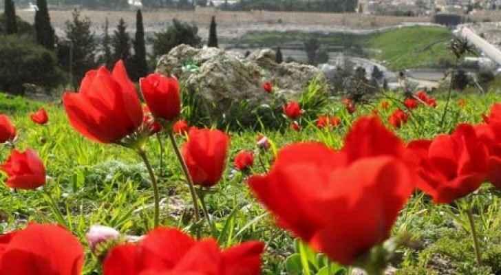 The anemone coronaria flower (Mawdoo3)