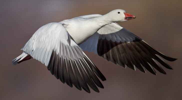 Ross's Goose is famous for its black and white wings. (Tn.gov)