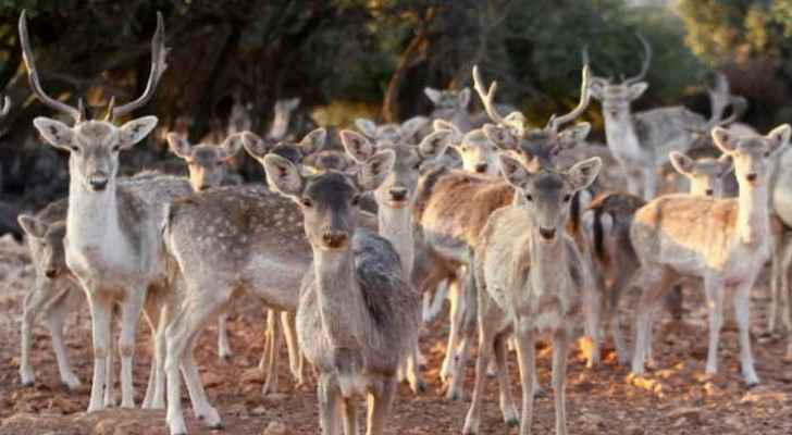 File photo of the deer at the Dibeen Forest Reserve