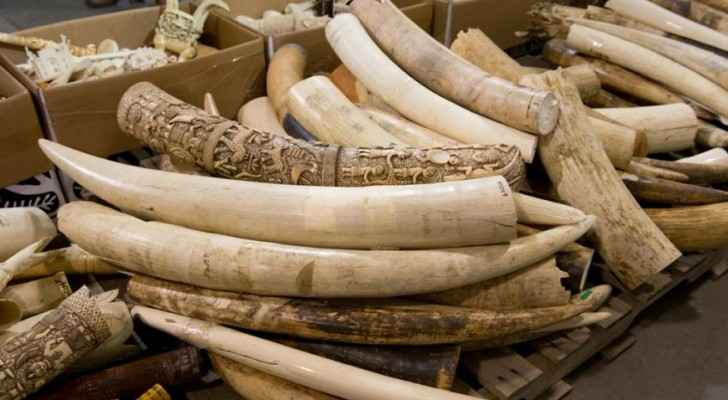 Ivory is typically obtained by killing elephants for their tusks. (Oregon Zoo)