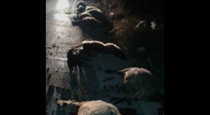 The sheep were killed due to careless driving. (Roya)