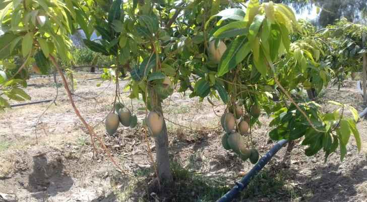 Each tree successfully produced 35 kg of fruit. (Roya)
