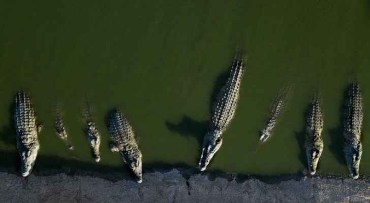 Crocodiles rest at a a farm in the Jordan Valley, West Bank. (AP/Dusan Vranic)