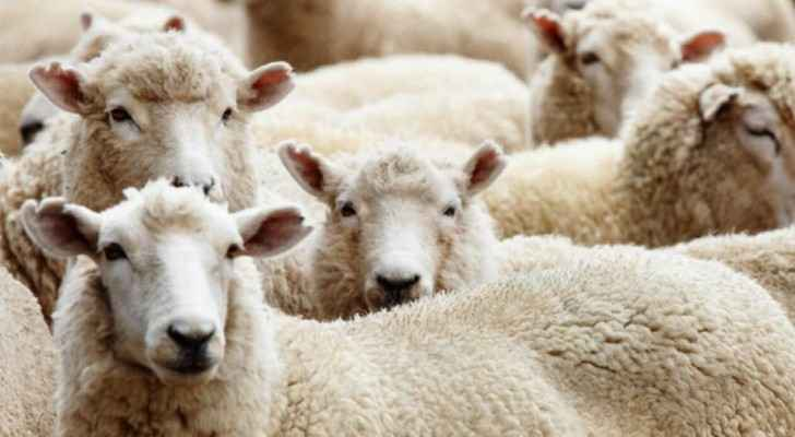 The NSCP did not specify how much local and imported sheep should be sold for. (Q Kuwait)