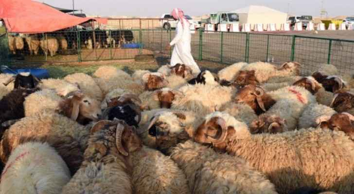 The sheep must have a healthy back and chest. (Middle East Eye)