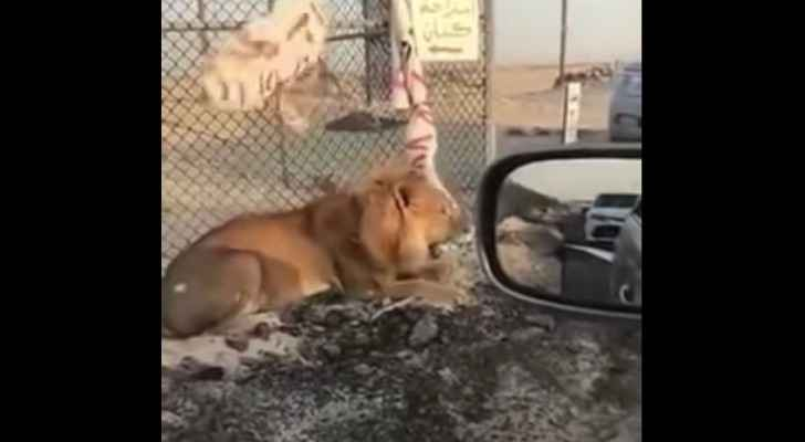 The lion escaped its enclosure in Al Jahra Governorate. (YouTube)