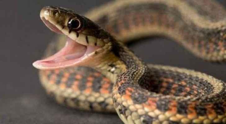 Fifteen venomous snakes were found in homes in Tafilah this summer. (Roya Arabic)