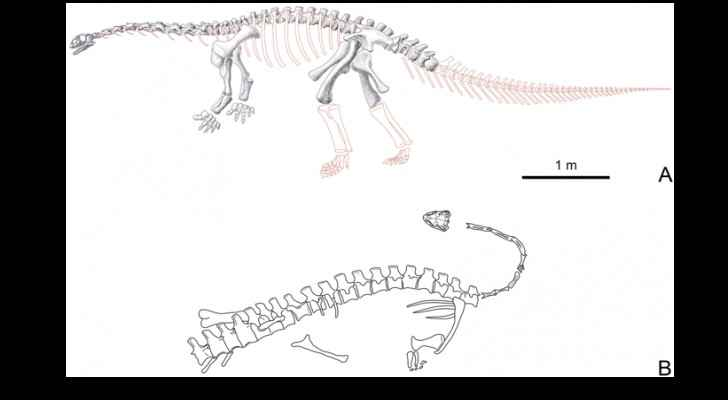 Yizhousaurus sunae skeleton and preservation status