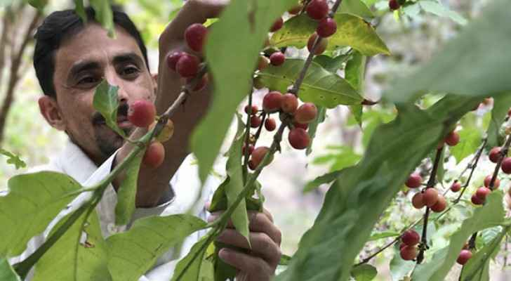 Yemeni farmers realize the distinct value of their country's coffee. (Middle East Institute)