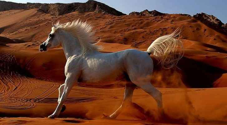 Egypt breeds five strains of Arabian horse. (Egypt Today)