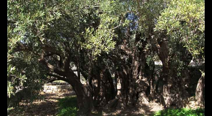 Largest, oldest olive tree found in Palestine
