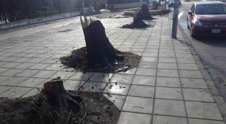 University of Jordan cuts down trees for BRT project
