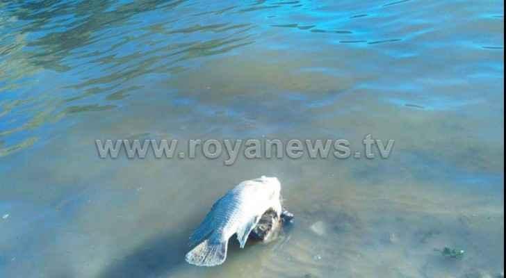 Pollution in King Talal Dam kills dozens of fish