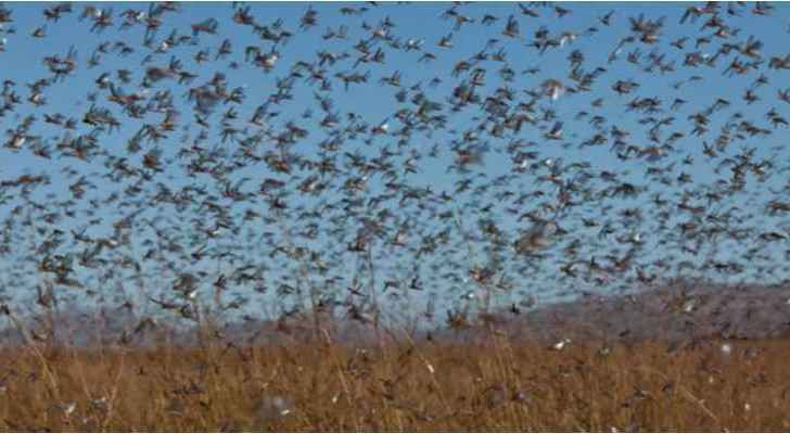 Locust swarms can eat food enough for half million people per day