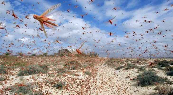Agriculture Ministry: Small swarms of grasshoppers and crickets entered Aqaba, not locusts