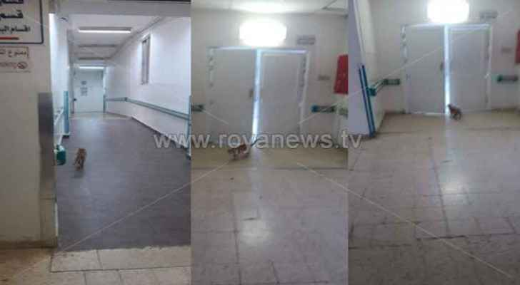 Cat walks around Hospital Operations Department in Ajloun