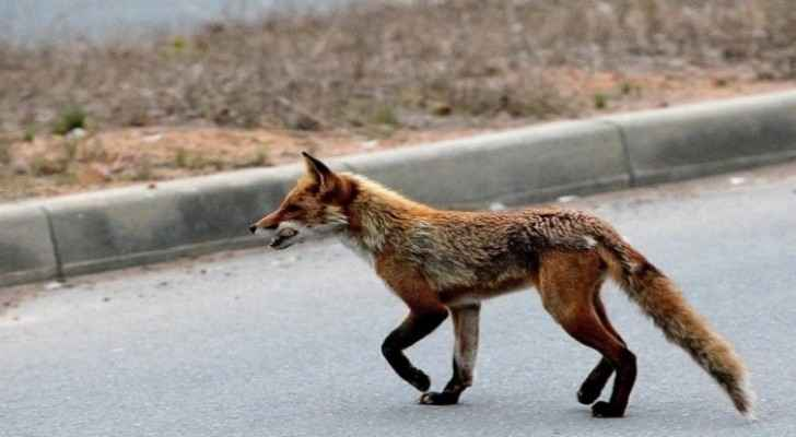 Wild fox prevents passenger plane from landing at airport in Russia