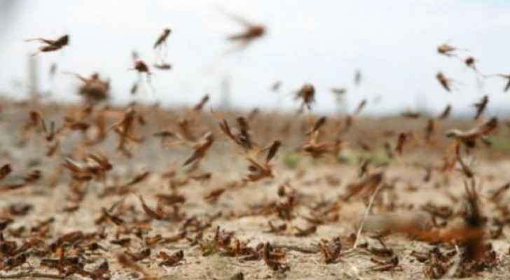 Ministry of Agriculture: Locust swarms are 50-100 km away from Jordan