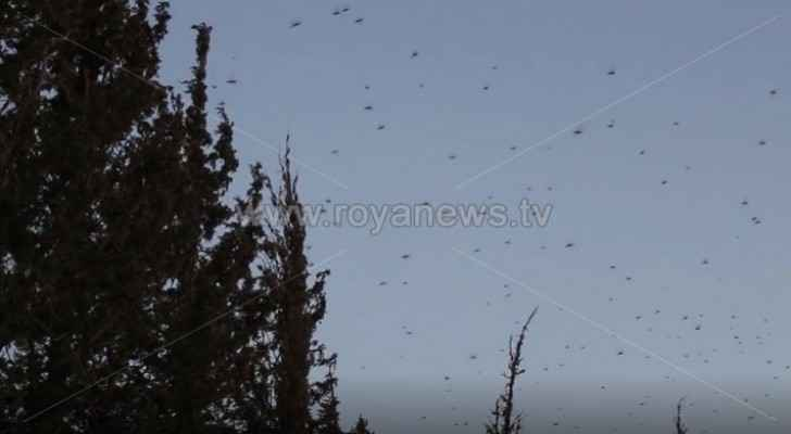 New locusts swarm enters Tafilah