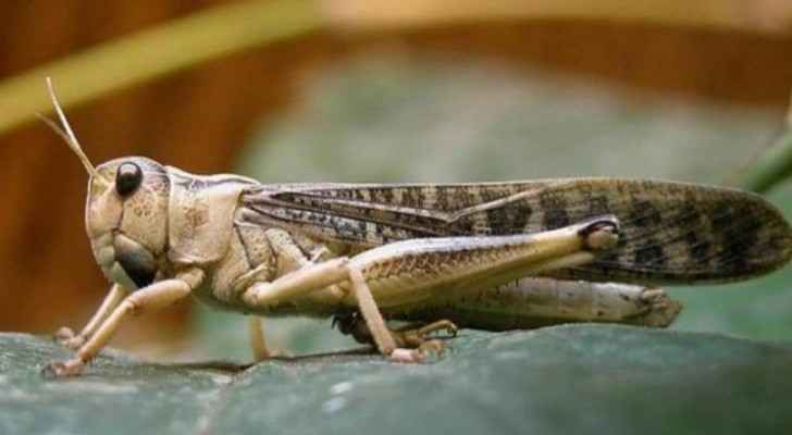 Expected northern-westerly winds tonight to end locust swarms' danger in Jordan