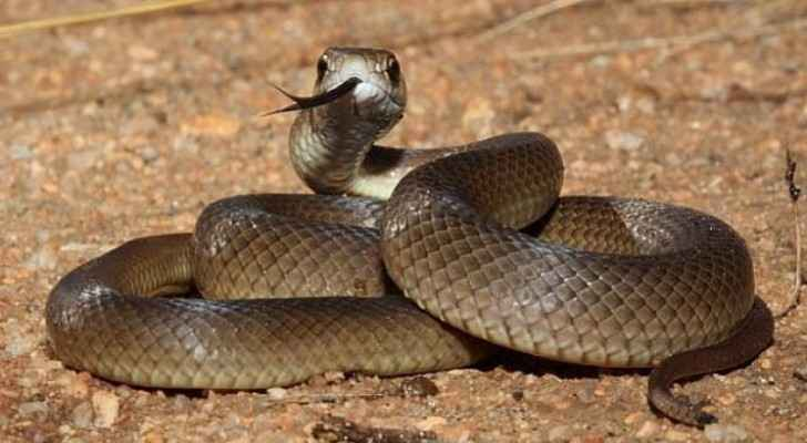 Egyptian expatriate dies of snakebite in Karak