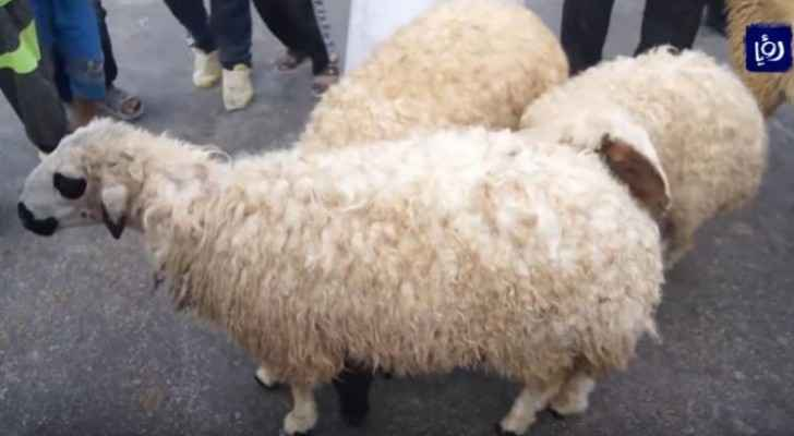 GAM announces locations for slaughtering, selling sheep via e-applications